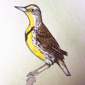 colored-pencil-drawing-of-western-meadowlark-perched-on-branch