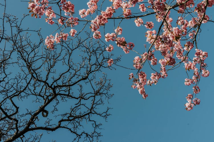 worm's-eye-view-of-one-bare-cherry-blossom-tree-and-one-with-blossoms-against-blue-sky