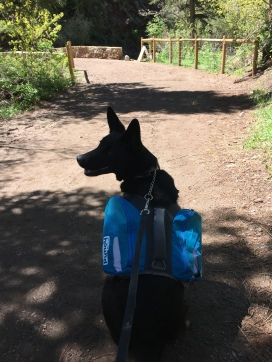 black-dog-in-profile-sitting-with-hiking-day-dog-pack-on-back