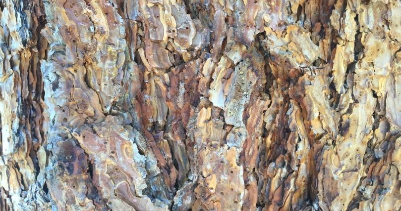 ponderosa-pine-bark