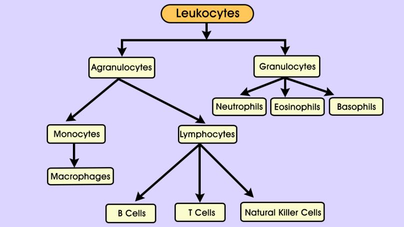 flow-chart-of-types-of-leukocytes