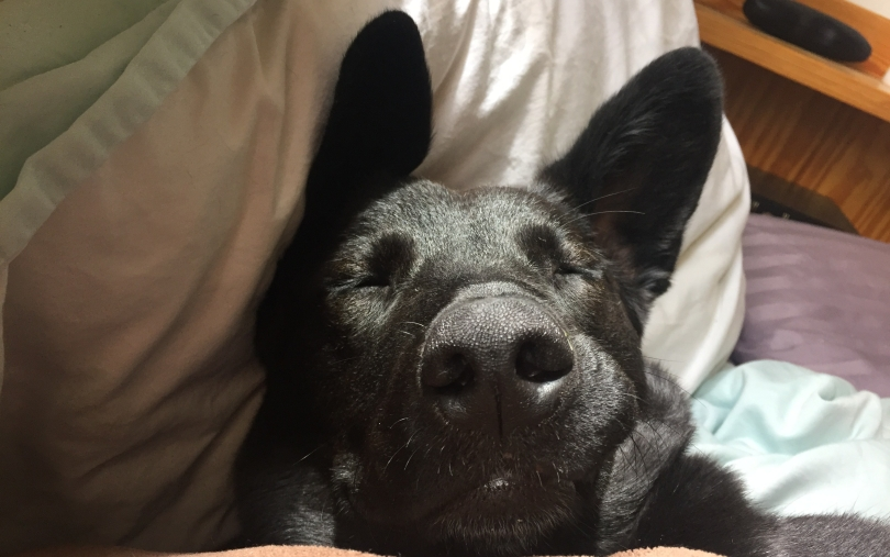 portrait view of black dog with pointy ears sleeping on bed with pillows