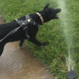 black dog biting stream of water from sprinkler