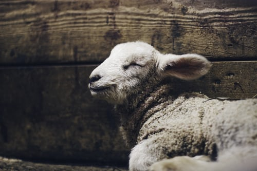 lamb sleeping in profile against wooden boards