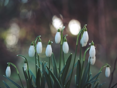 white bell-shaped flowers pointed down during dusk light