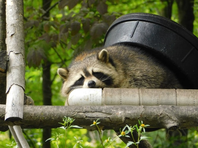 tired raccoon lying on platform with black container on its back and foliage in background