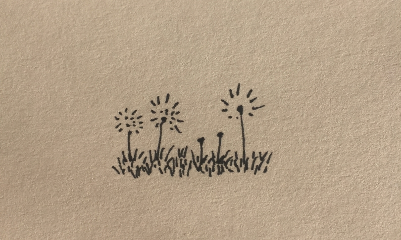 ink drawing of dandelion seed heads growing in grass