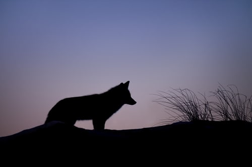 silhouette of wolf standing on ridge with tall grass at sunset