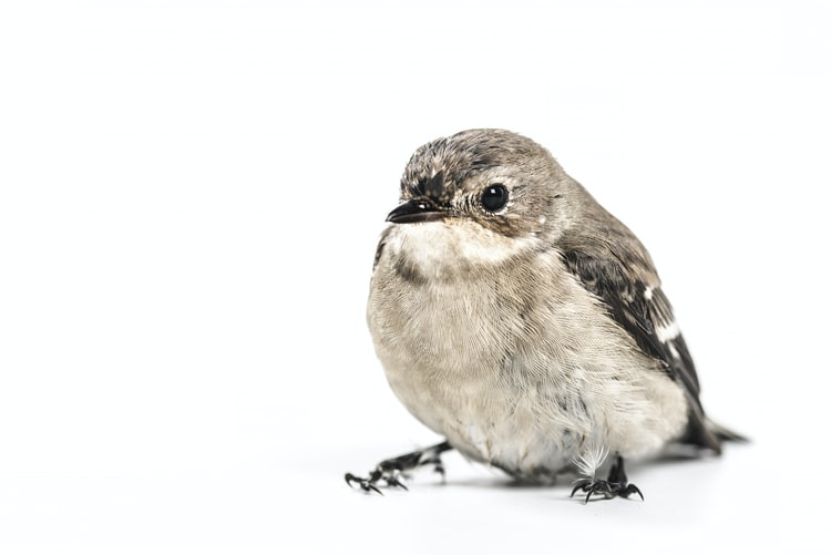 small-songbird-sitting-on-white-surface-with-white-background