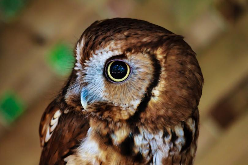 small-brown-and-white-owl-with-head-turned-to-side-and-large-yellow-eye