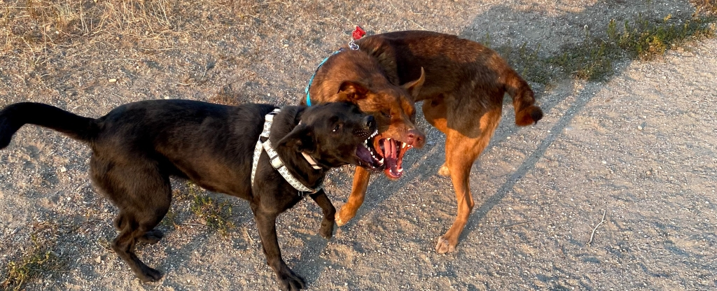a-black-dog-and-a-red-brown-dog-playing-with-mouths-open-next-to-each-other-showing-teeth-outdoors