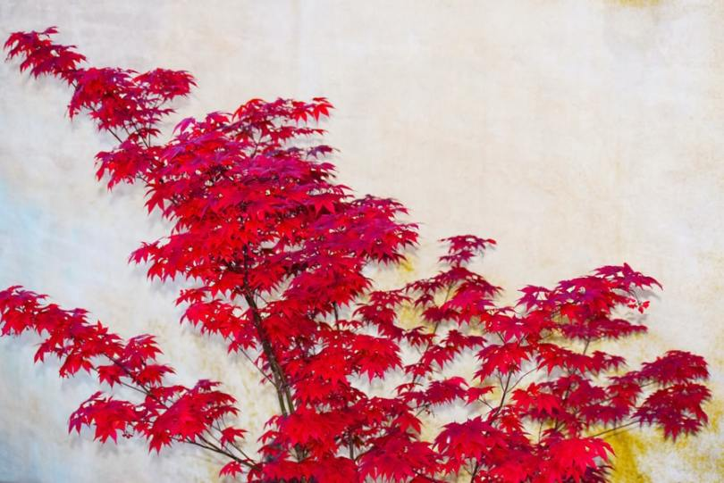 Red maple leaves growing on tall branches against a white background