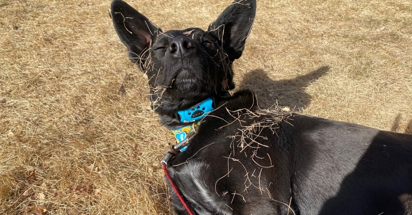 black therapy dog with pointy ears laying on side raising head with one eye closed while covered in dry grass