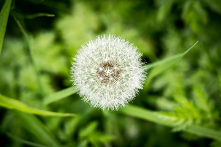 close-up-of-dandelion-seed-head-with-green-grass-below